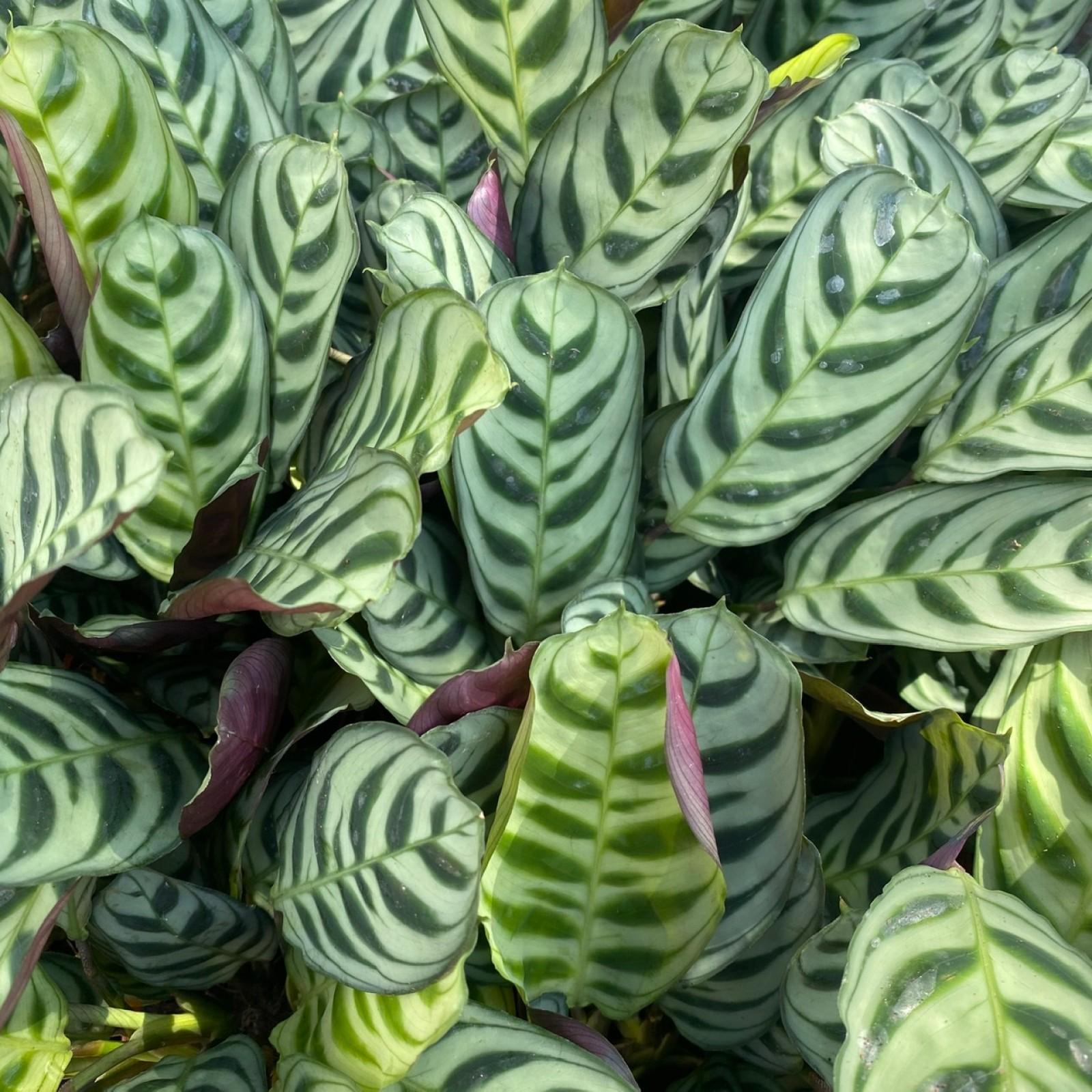 Ctenanthe Burle Marxii Fishbone Prayer Plant Never Never Plant Houseplants Delivered To London Walworth Garden