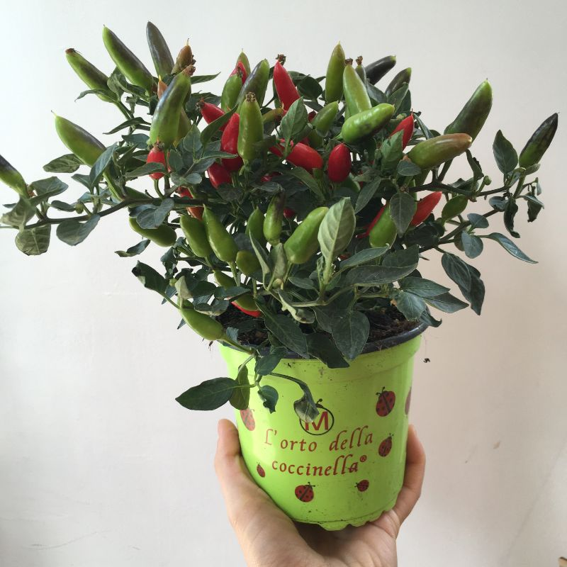 Chillies pot