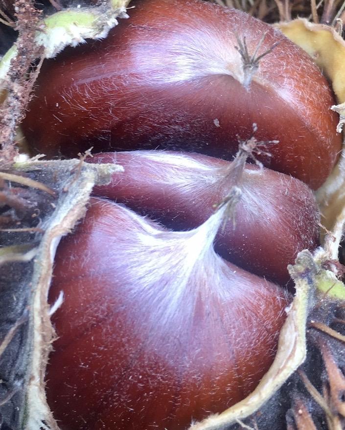 Chestnut 200g