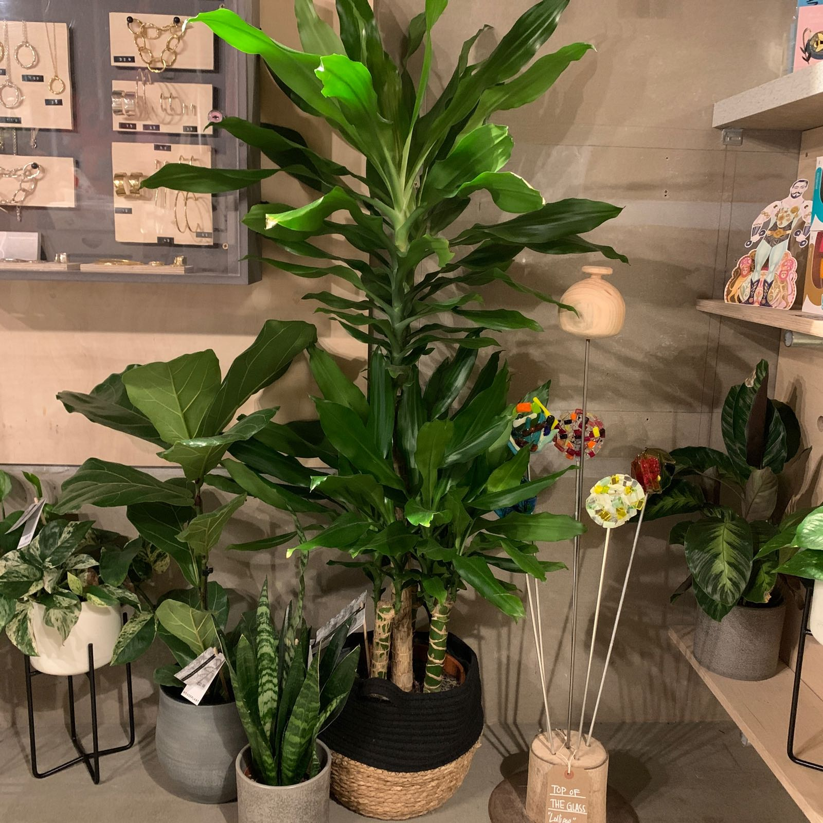 The Little Botanical - Large Dracaena