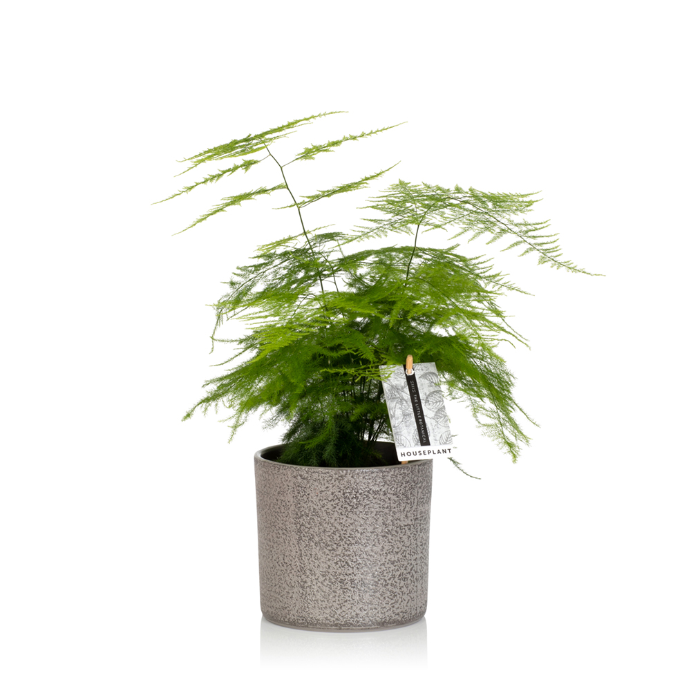The Little Botanical - Asparagus Fern