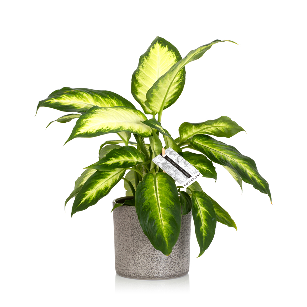 The Little Botanical - Dieffenbachia
