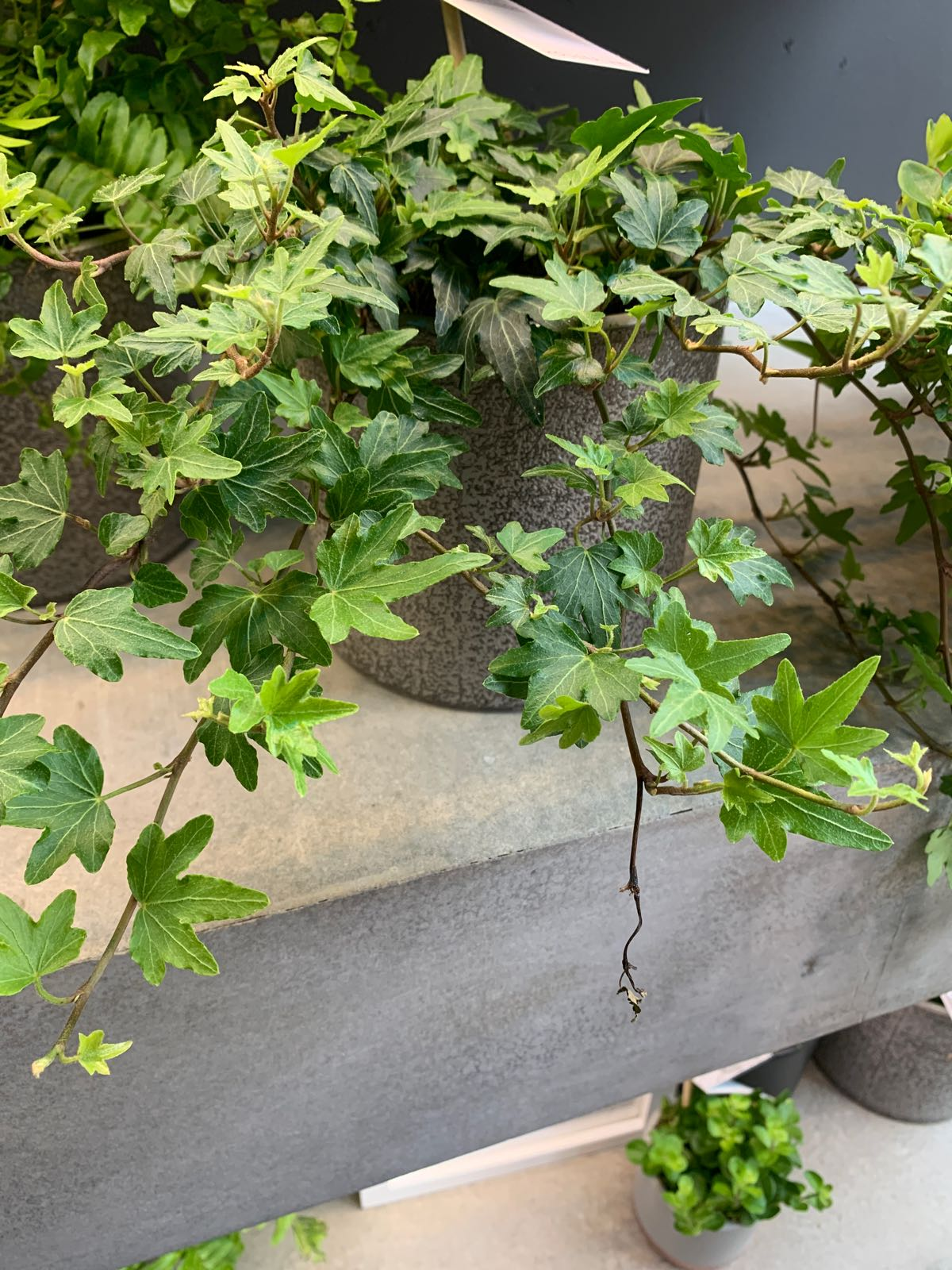 The Little Botanical - Large English Ivy