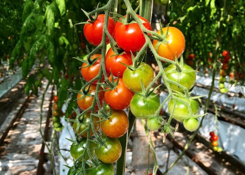 Drew's of Worcester - Heritage Annamay Vine Tomatoes (275g approx)