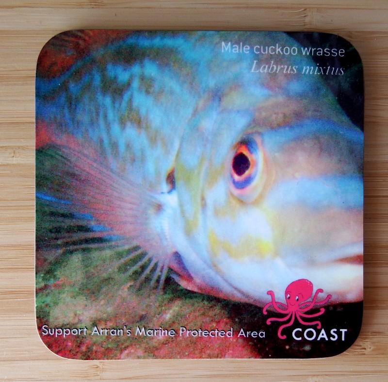 Coaster - Cuckoo wrasse