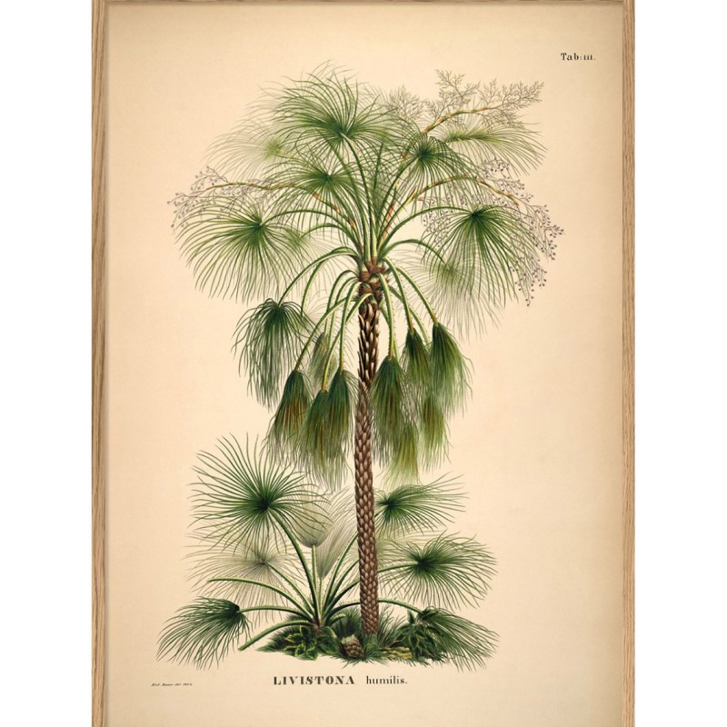 poster Livistonia Palm 70x100 cm