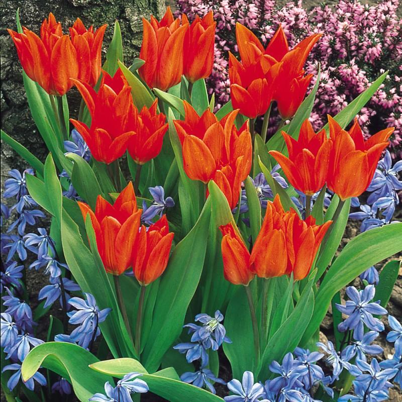 202. Tulips Praestans Van Tubergens