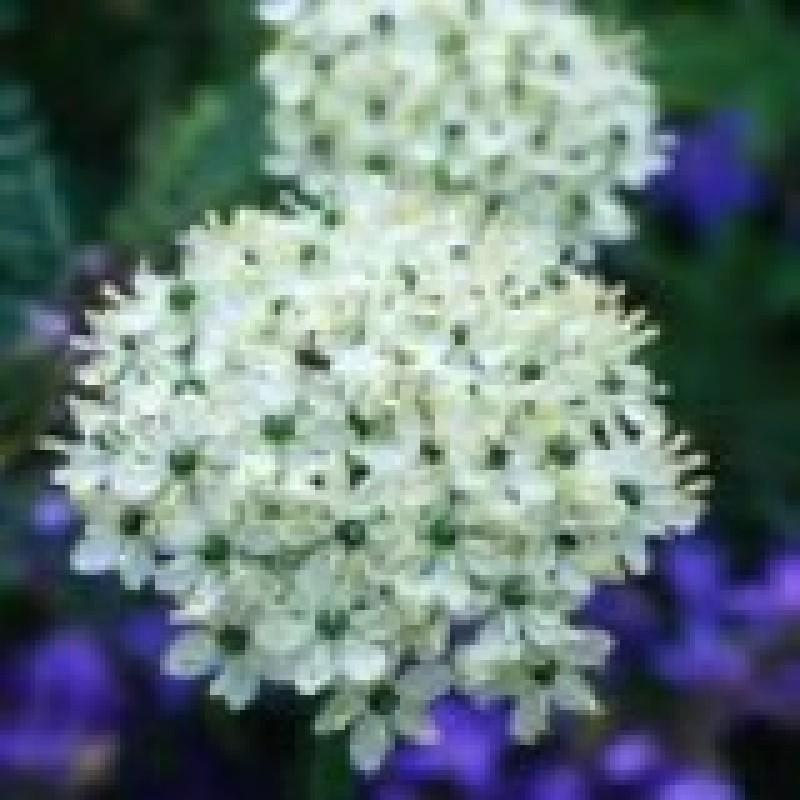 210 Allium Multibulbosum nigrum