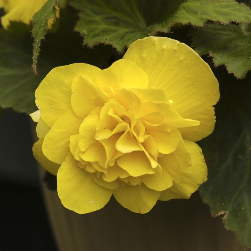 27. BEGONIA tub Mocca Yellow