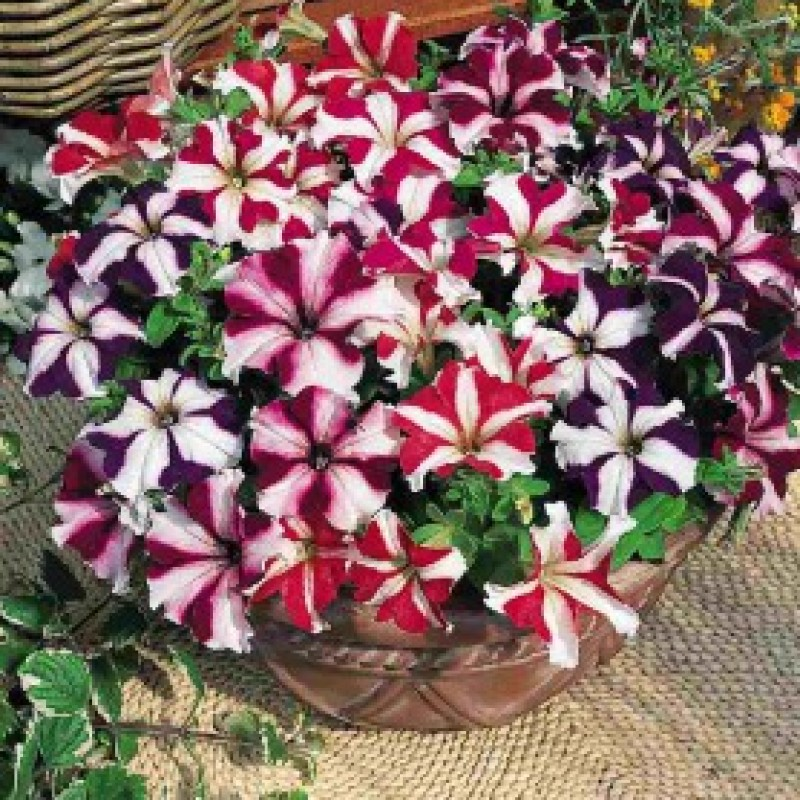 57. PETUNIA Festival Mix Star. Pack of 6.