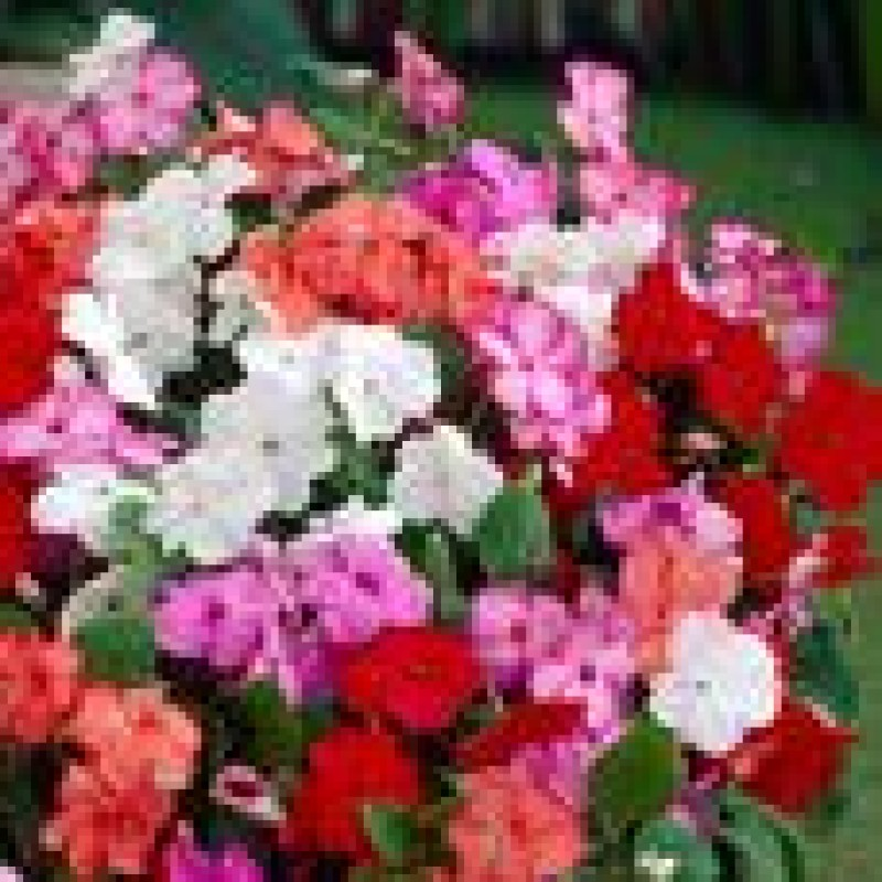 43. IMPATIENS wall Penta Mix (Busy Lizzie).  Pack of 6