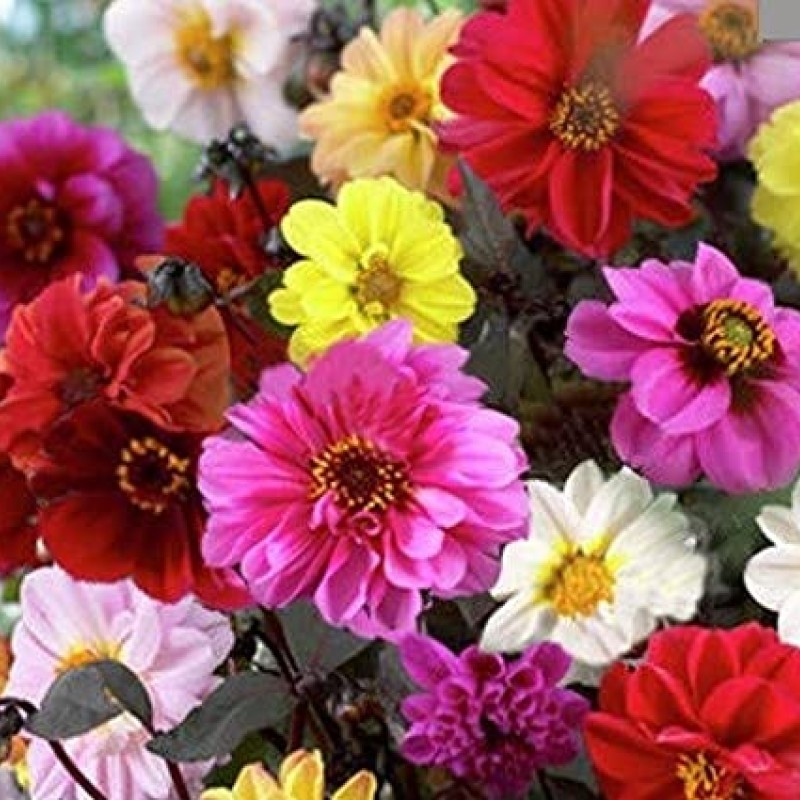 35. DAHLIA Red Skin Mix. Pack of 6