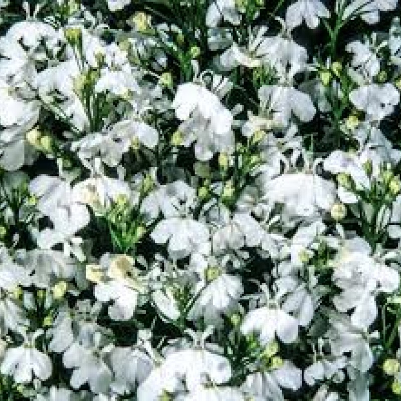 49. LOBELIA erinus Early Sky White. Pack of 12