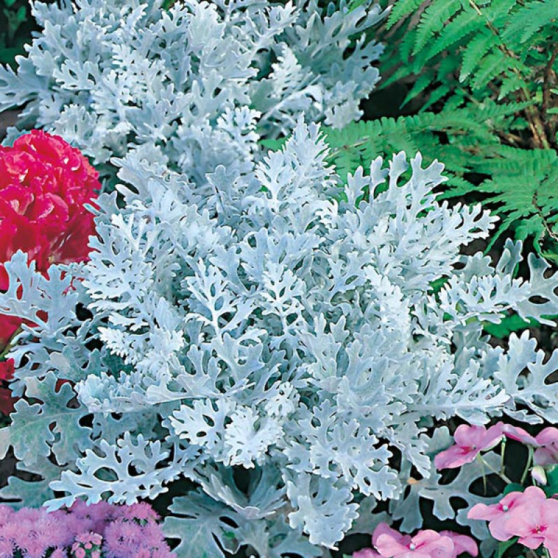 33. CINERARIA Silverdust.. Pack of 6