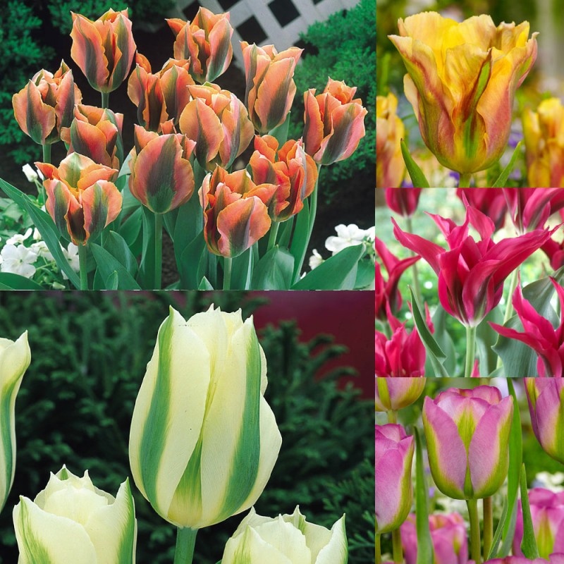211. Tulip Viridiflora Collection (Pack of 50)