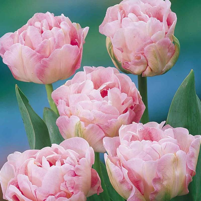 204. Tulip Angelique