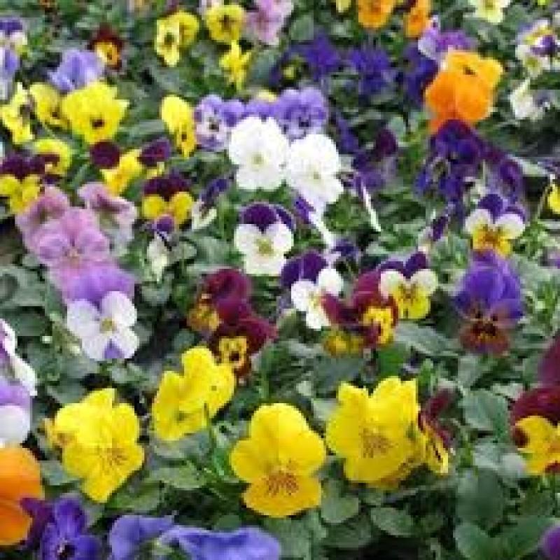 70. Viola (Pansy)Treasure Mix Pack of 6