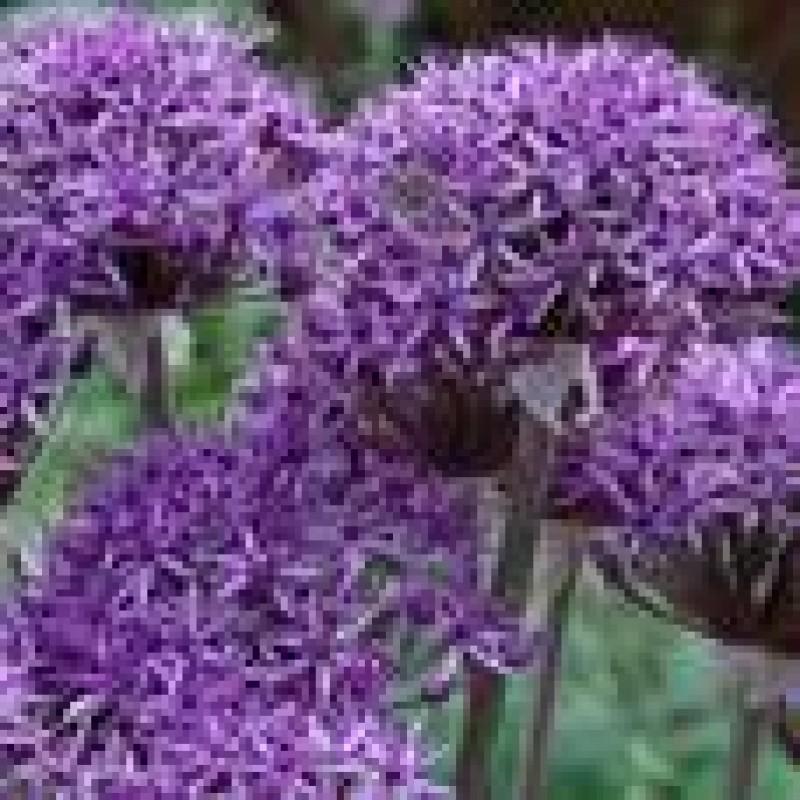 208. Allium Voilet Beauty