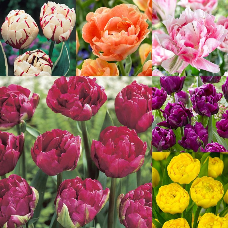 212. Tulip Double Late Collection
