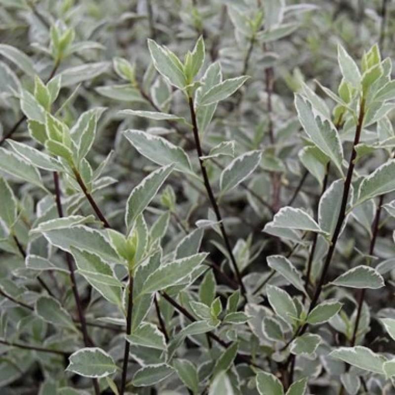 114. Pittosporum Tenuifolium Variegatum