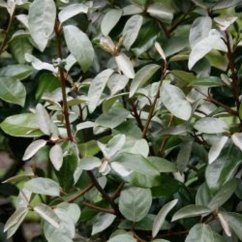 105. Oleaster (Elaeagnus Ebbingei)