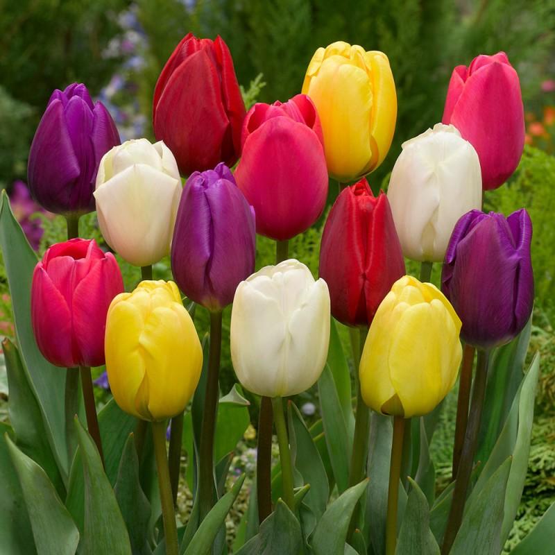 213. Tulip Compact Mid-Season Mixed