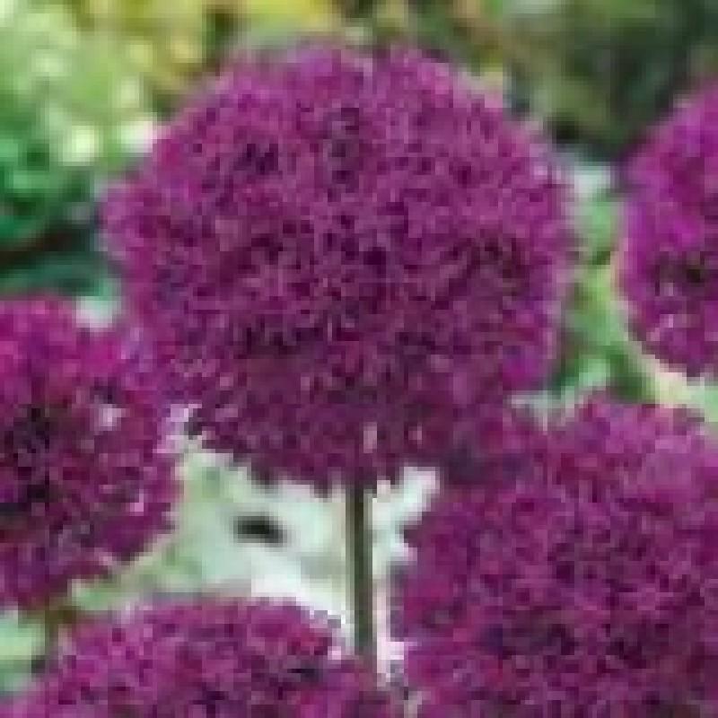 209 Allium Purple Sensation