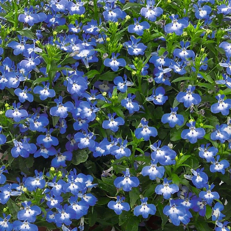 47. LOBELIA erinus Early Sky Blue Eye.  Pack of 12