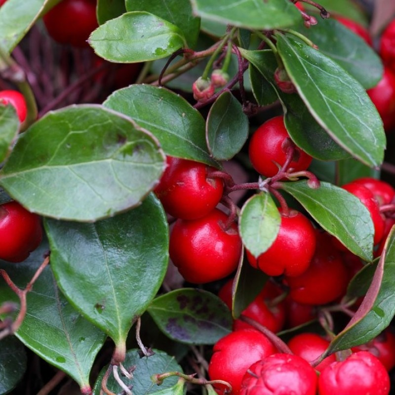 106. Gaultheria procumbens (checkeryberry)