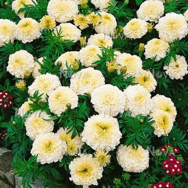 67. TAGETES (Marigolds) Vanille. Pack of 6.
