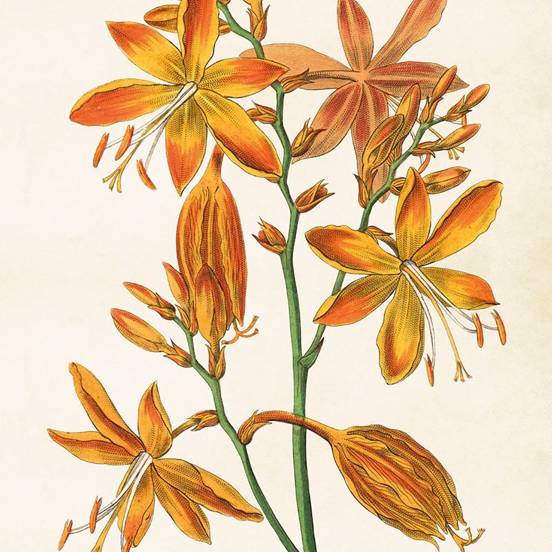 Sköna Ting - Poster Orange Iris 50x70