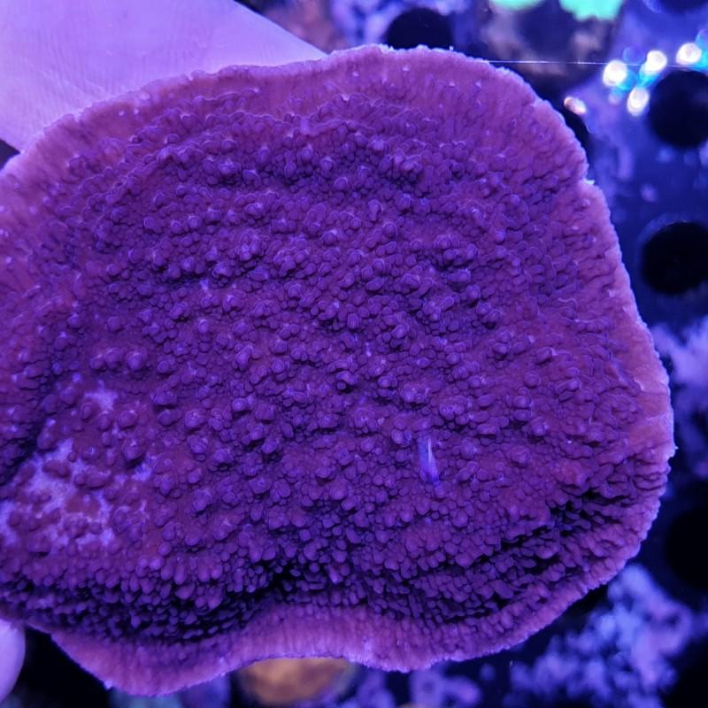 Cadbury Purple Plating Montipora