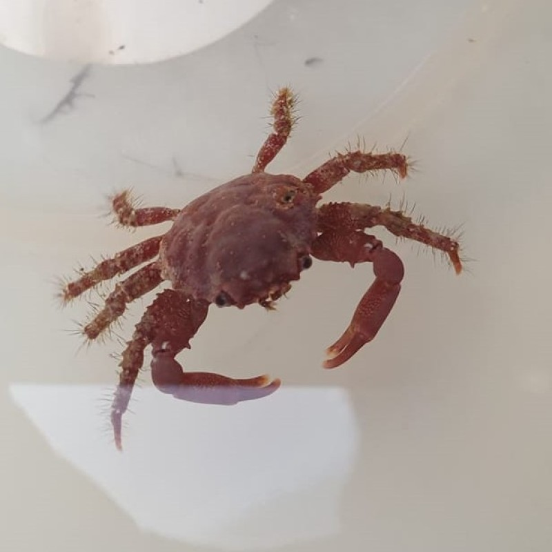 Red Mithrax Crab (Emerald Crab)