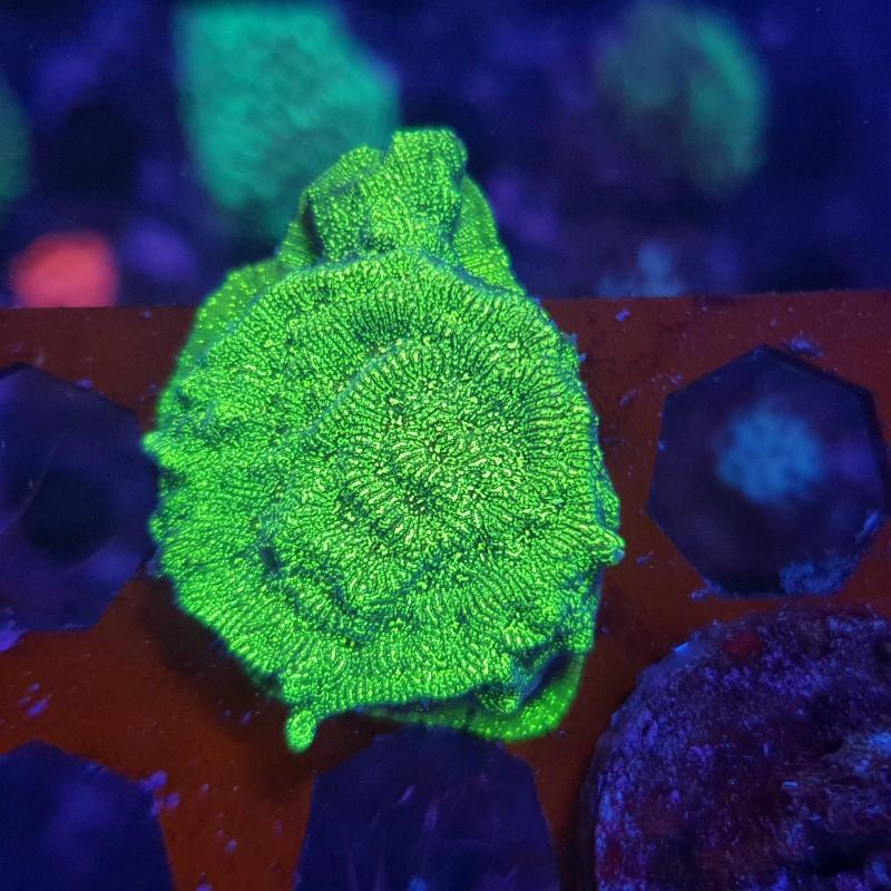 Nuclear Green Leptoseris Frag
