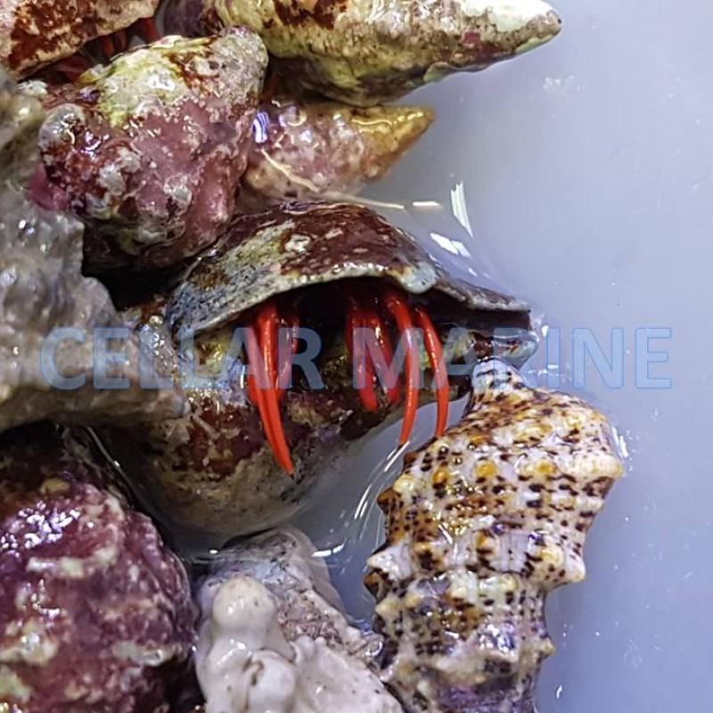 Scarlet Red Leg Hermit Crab