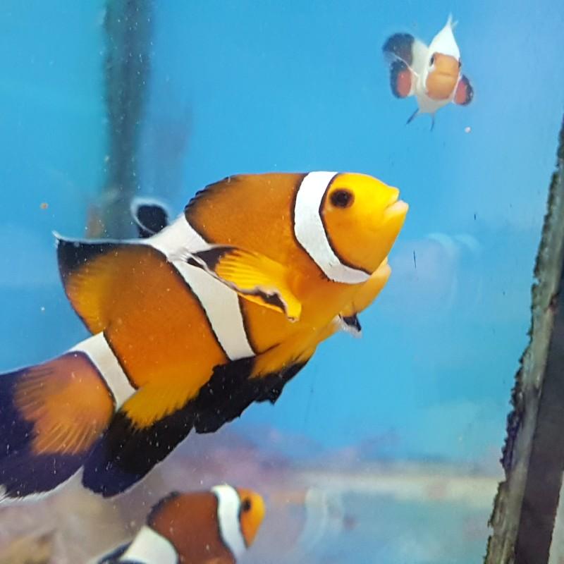 Mocha Longfin Captive-Bred Clownfish Unsexed Pair