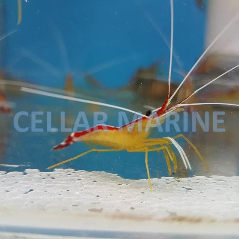 Cleaner Shrimp x2