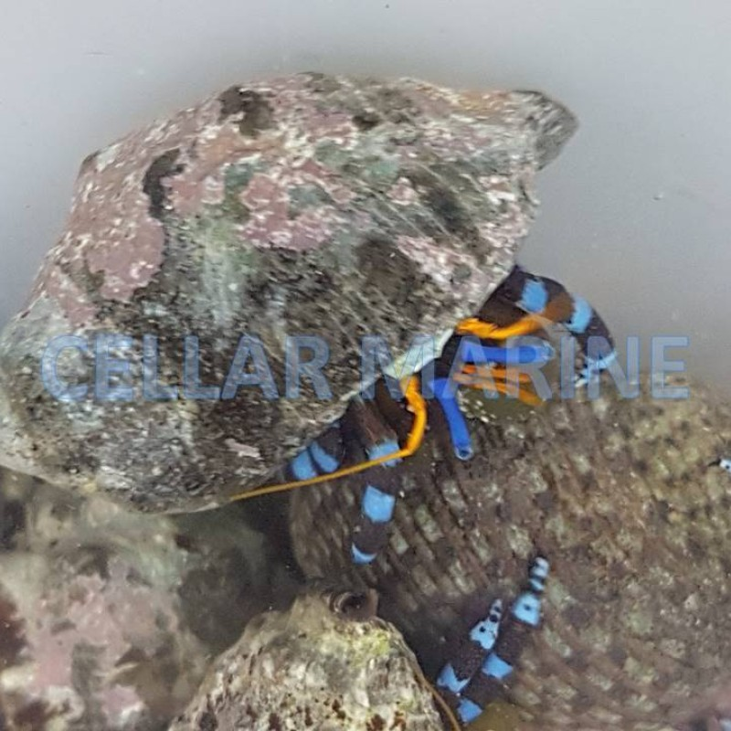 Metalic Blue Leg Hermit Crab x4