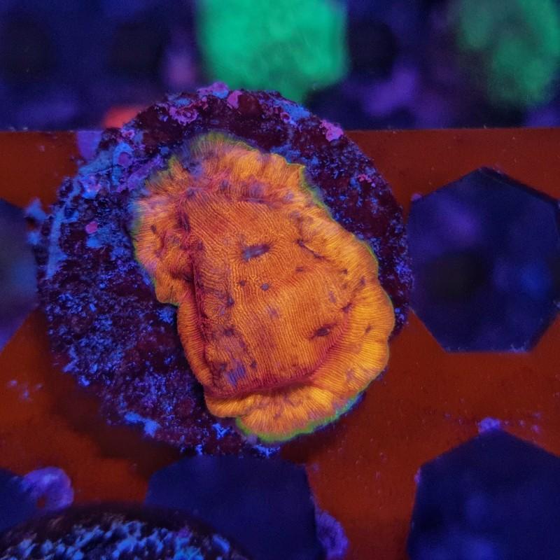 Orange Leptoseris