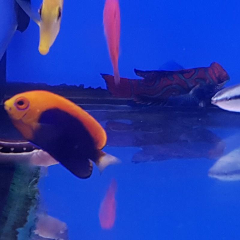 Fireball Pygmy Angelfish