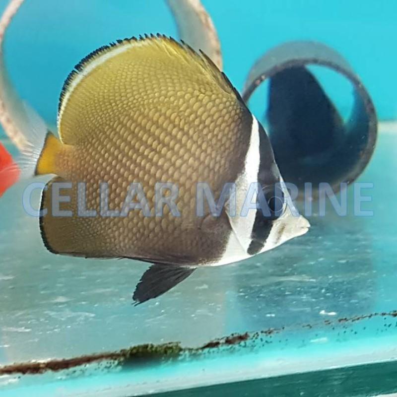 Pakistan Butterflyfish