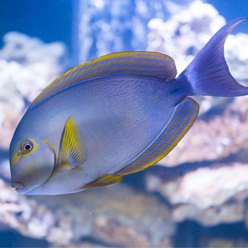 Yellowfin (Yellow-Mask) Surgeonfish