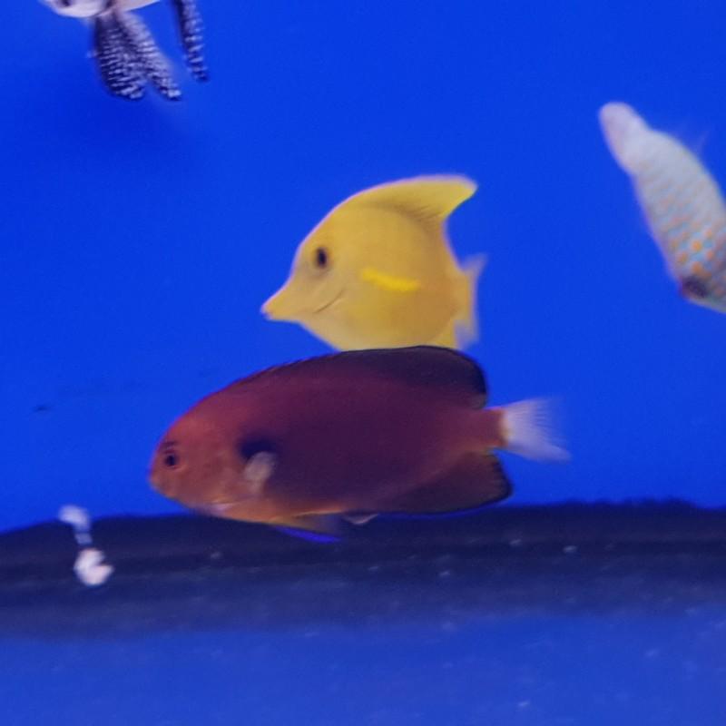 Fisheri Angelfish