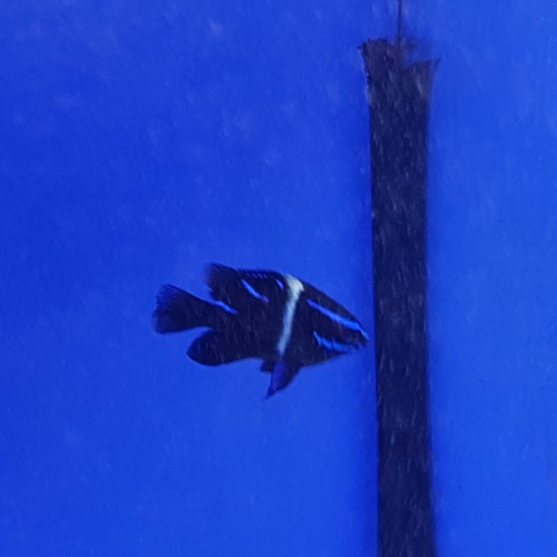 Neon Blue Velvet Damsel