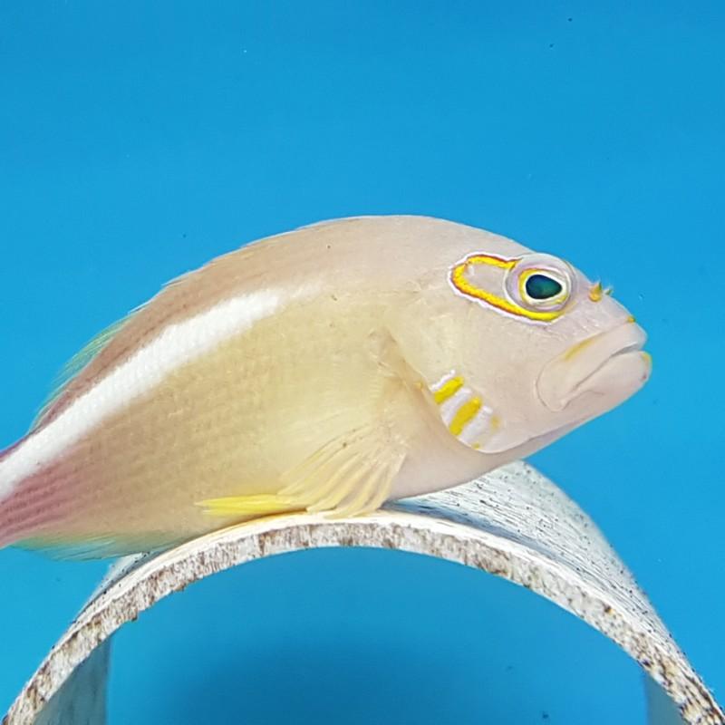 Eye Dash Hawkfish