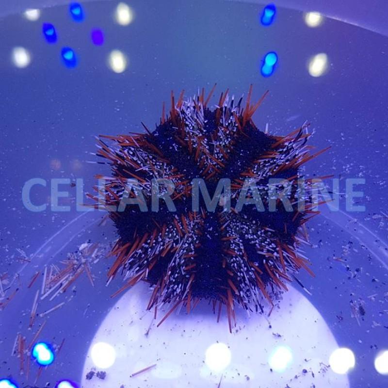 Multicolour Urchin Small