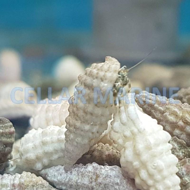 Algae Hermit Crabs  1cm