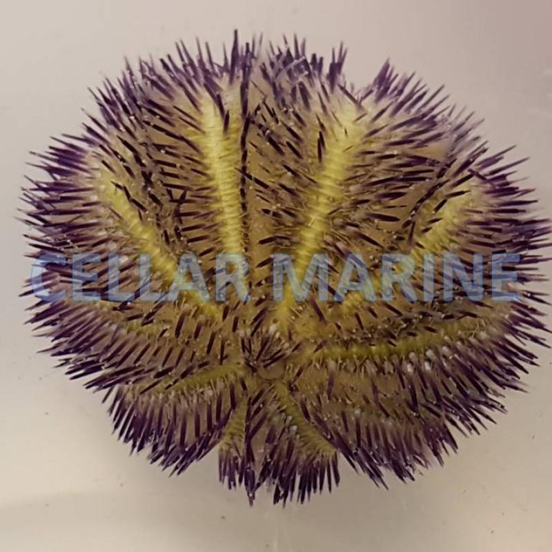 Purple and Cream Pin Cushion Urchin