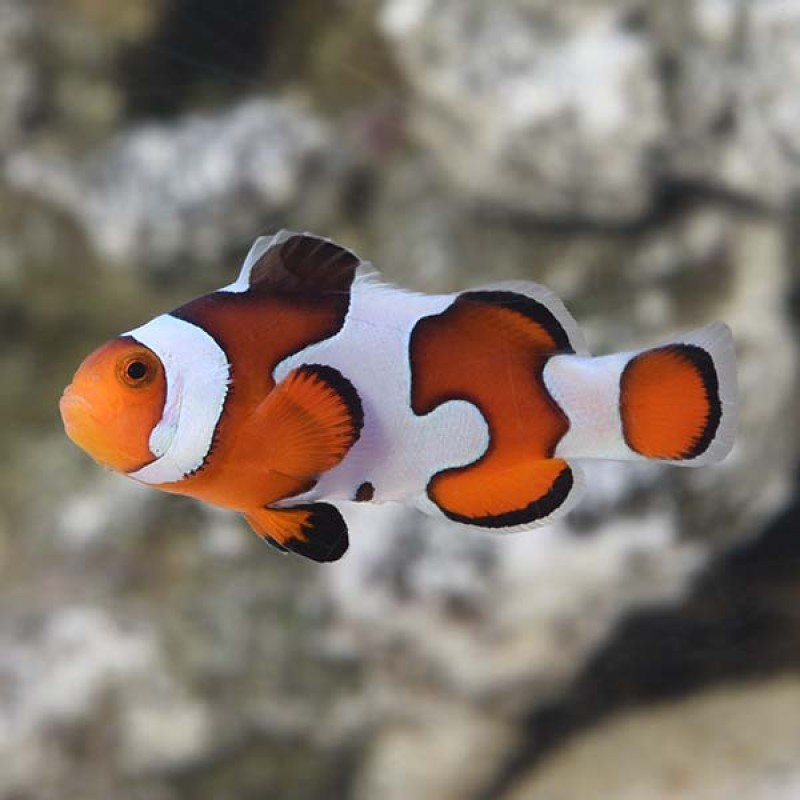 Gladiator Clownfish *PRE-ORDER 2-3 Days*