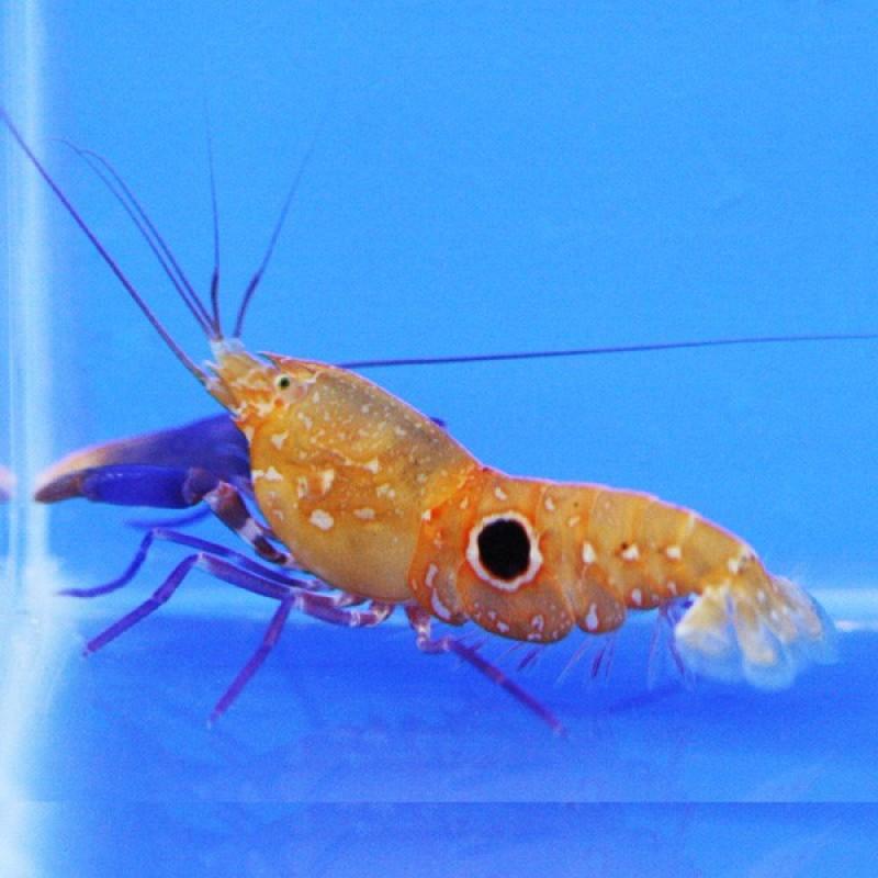 Bullseye Snapping Shrimp